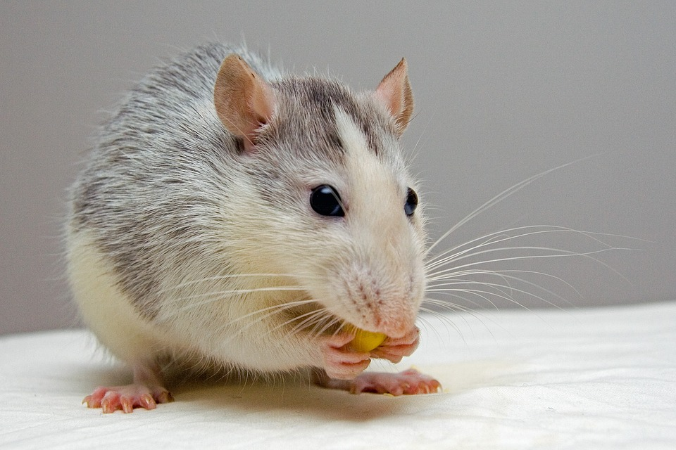 rat-appât-attractant